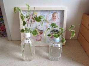 井戸水と水道水で水耕栽培の実験