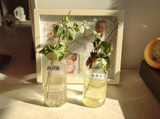 6週間後に井戸水で育てていた植物の茎に変化が