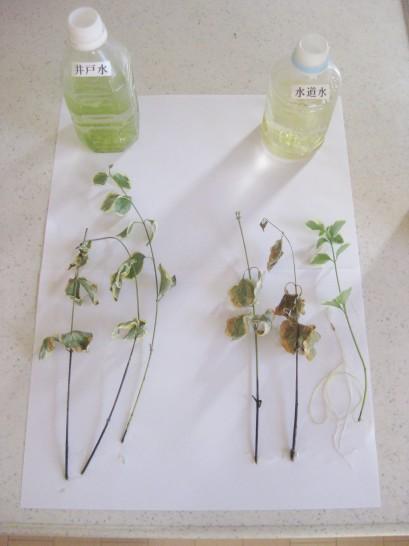 容器から植物を取り出して比較してみる